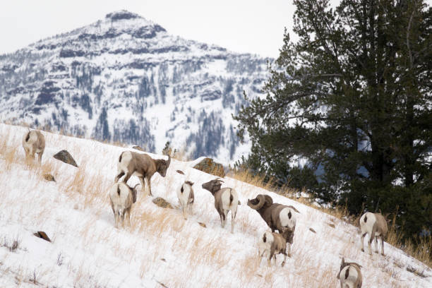 Grazing in winter snow, a wild bighorn sheep herd feeds in the Lamar Valley with Mount Norris in the background Yellowstone National Park Wyoming.