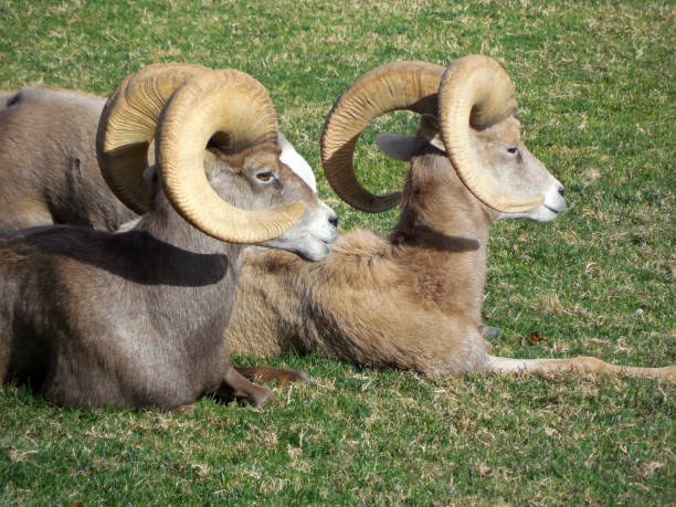 2 Wild Bighorn Sheep in Boulder City, Nevada stock photo