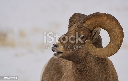 Wild bighorn sheep in the winter at Christmas time in the Grand Tetons National Park and Yellowstone National Park area. As the snow forms a thick blanket across the Tetons Range, wildlife becomes more visible and the scenery more dramatic than then the busy summer season.