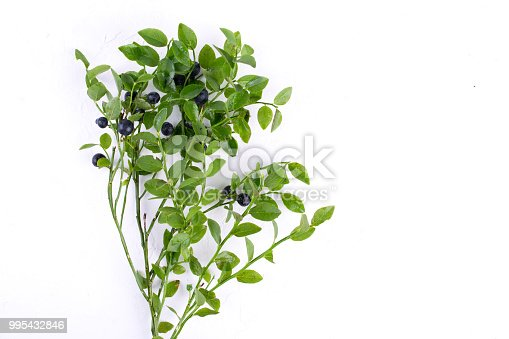 853493518 istock photo Wild bilberries or blueberries  and the branch of an blueberries bush 995432846