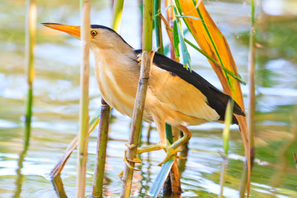wild bird hid in thickets of reeds stock photo