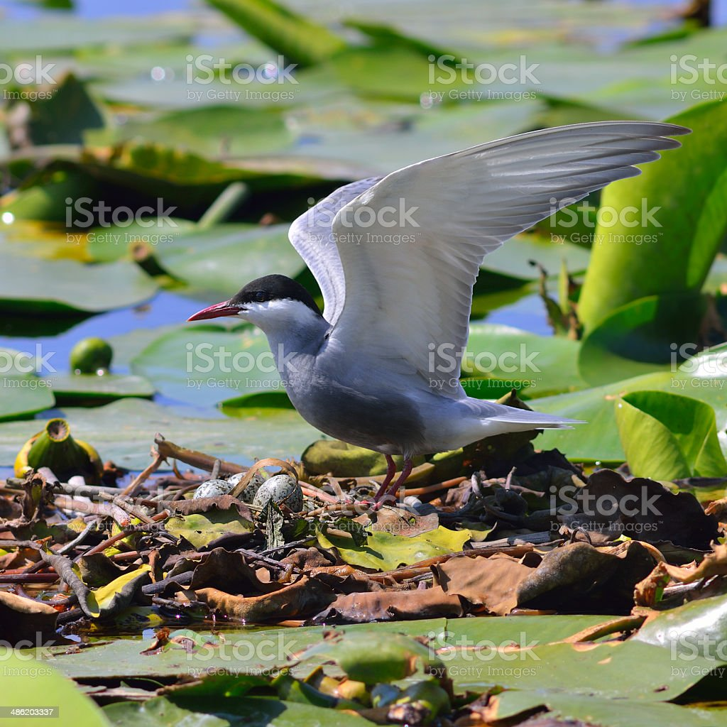 Wild Birds sitting on a nest stock photo