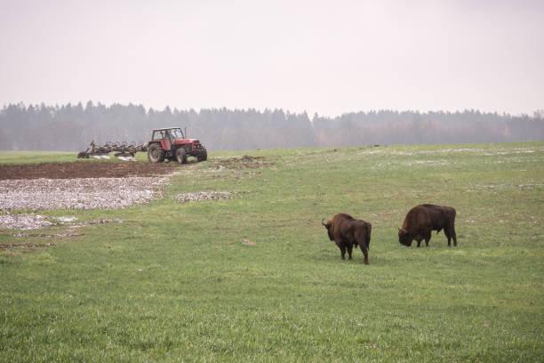 wilde Bison-Auerochsen in einem bewirtschafteten Acker – Foto