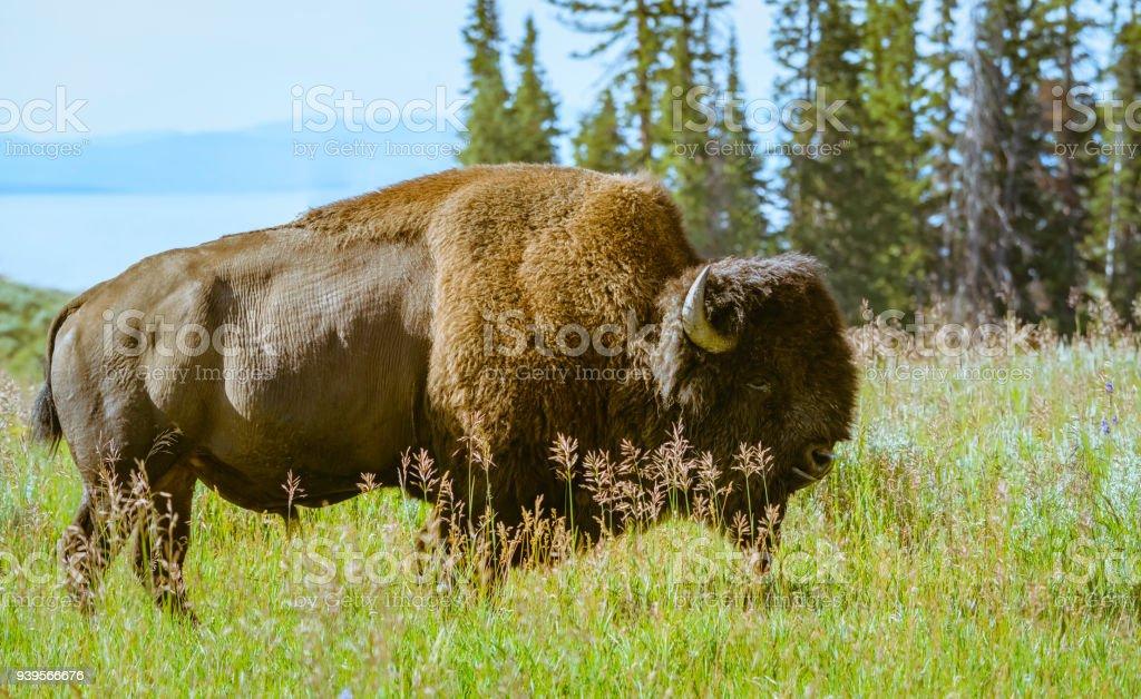 Wild bison grazes in natural habitat in summer, Montana, USA. stock photo