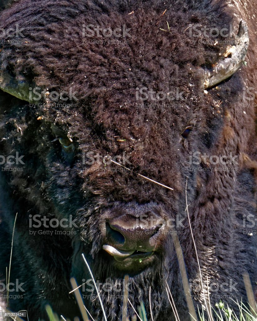 Wild Bison in Wyoming stock photo