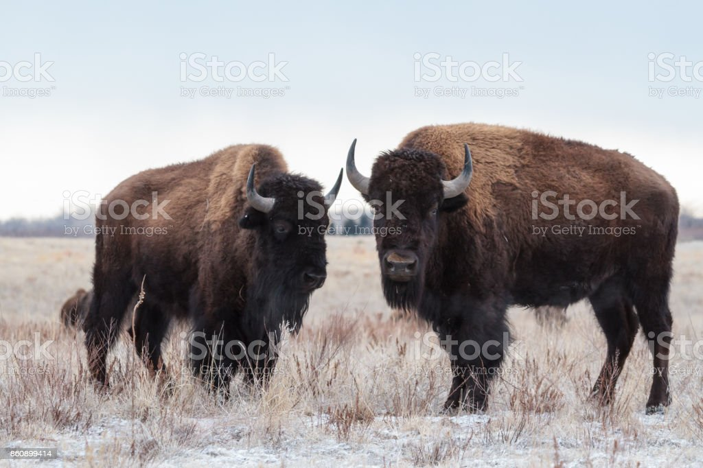 Wild Bison Standing in the Colorado Snow stock photo