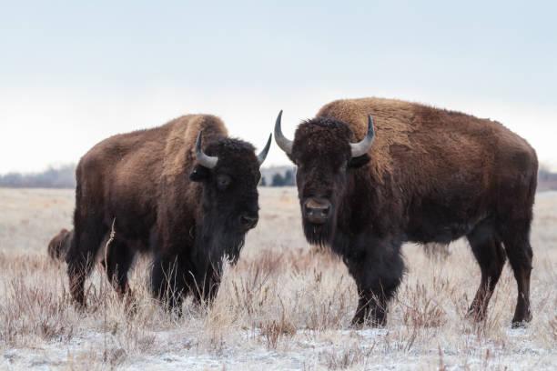 Vilda Bison stående i Colorado snön bildbanksfoto