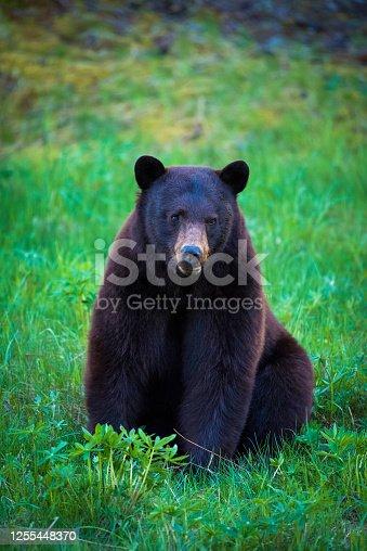 Whistler black bear in the Callaghan Valley. Wildlife photography in Canada. Wild black bear feeding.