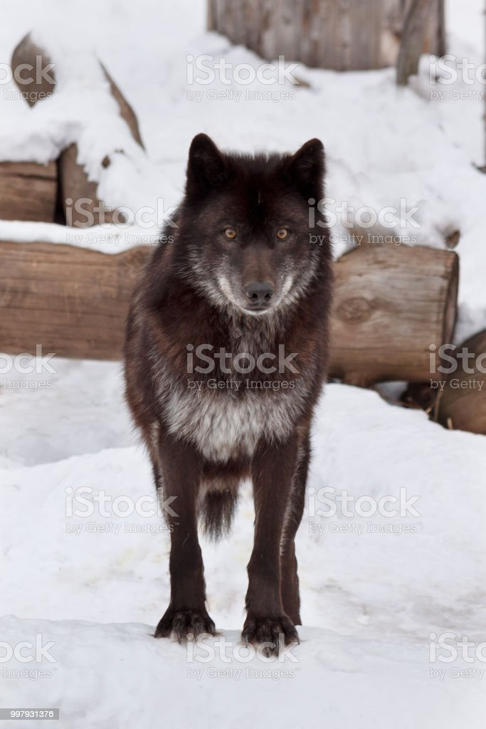 Lobo canadense preto selvagem está olhando para a câmera. Animais na vida selvagem. - foto de acervo