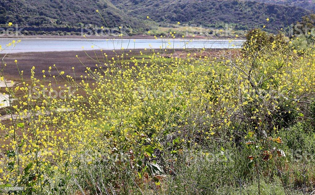 Wild Black Mustard Yellow Flowers Weeds stock photo