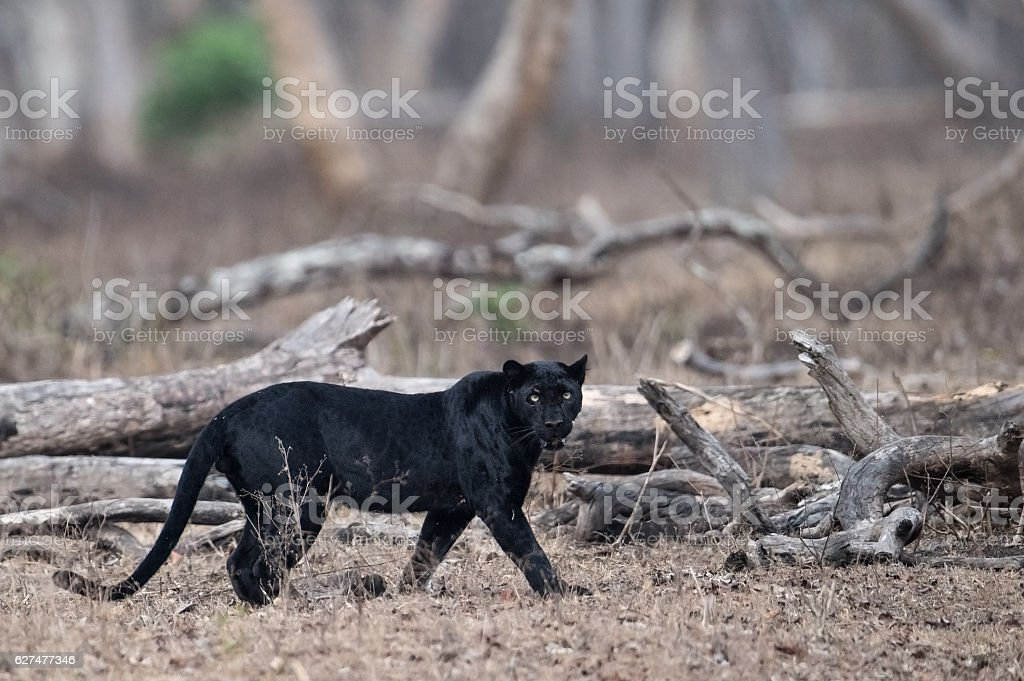 Wild Black Panther stock photo