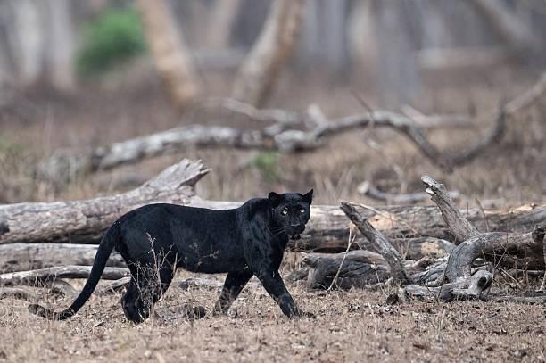 Wild Black Panther圖像檔