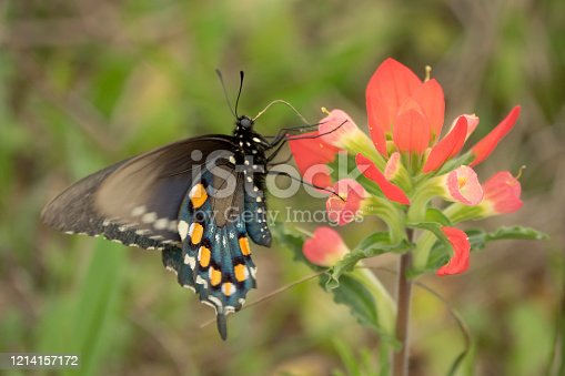 Enjoying the nectar from Indian paintbrush, a black pipevine swallowtail, feeds during the springtime in Attwater Prairie Chicken National Wildlife Refuge near Eagle Lake, Texas.