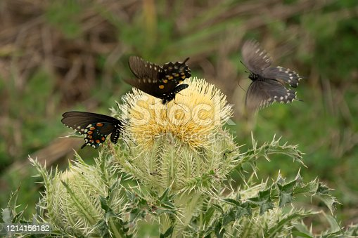 Enjoying the nectar from a large bull thistle, three black pipevine swallowtails, feed during the springtime in Attwater Prairie Chicken National Wildlife Refuge near Eagle Lake, Texas.