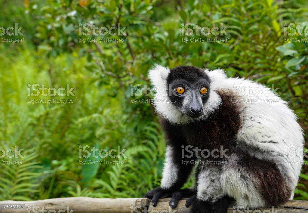 Wild Black & White Ruffed Lemur on the African Island of Madagascar in the Indian Ocean stock photo