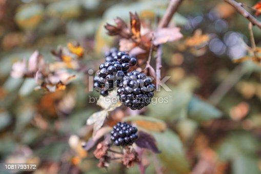 istock Wild Blackberry Bush 1081793172