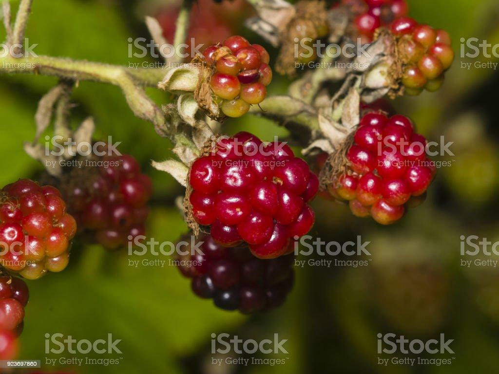 Wild blackberry riping on bush macro, selective focus, shallow DOF stock photo