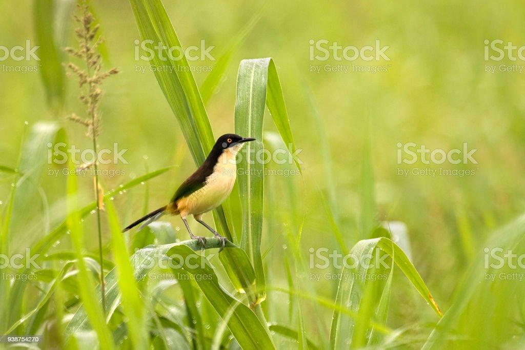 Wild black-capped mocking-thrush Pacaya-Samiria Reserve Amazon Rainforest Peru stock photo