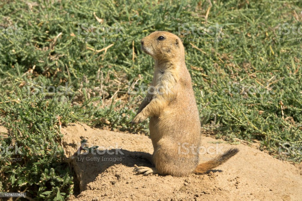 Wild black-tailed prairie dog Rocky Mountain Arsenal National Wildlife Refuge burrow Colorado stock photo