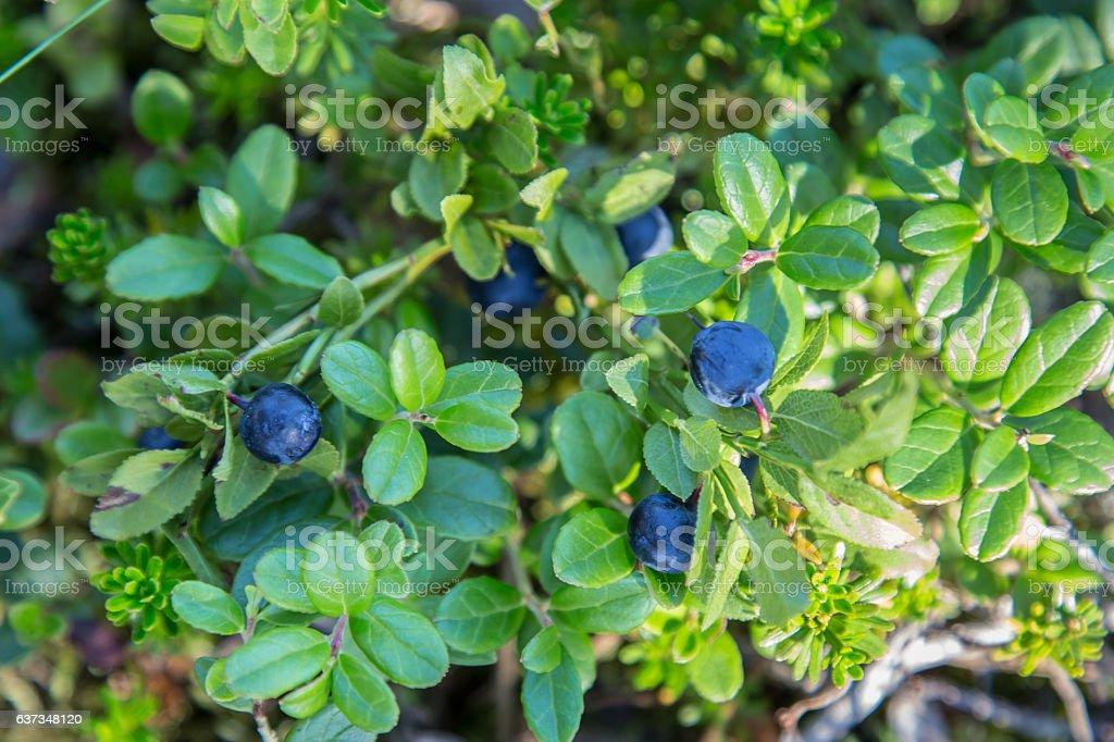 Bayas Salvaje azul - foto de stock