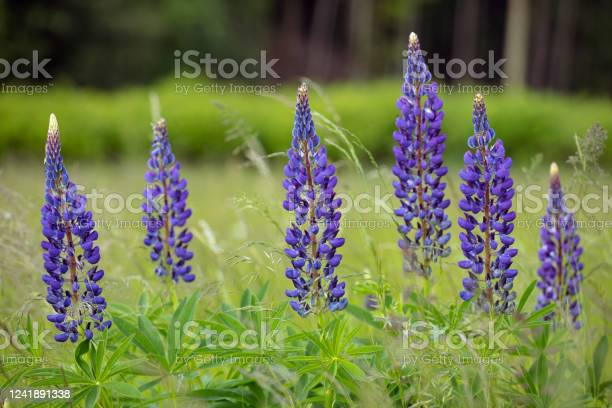 Photo of Wild Blue lupin flowers on the meadow. (Lupinus polyphyllus) close up. Springtime bloom.