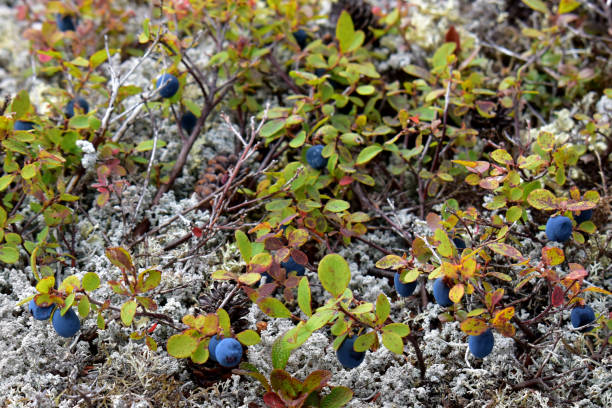 Wild blueberries and white lichen growing in Alaska stock photo