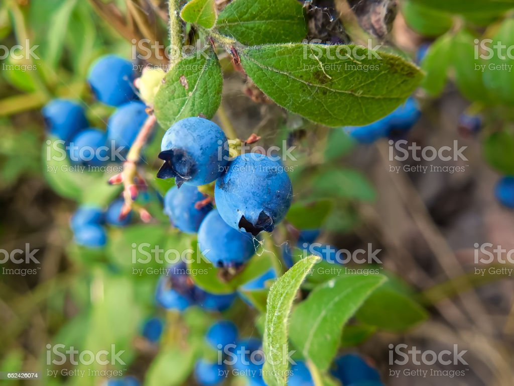 Wild blueberries covered with fine spider webs stock photo