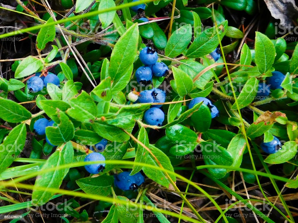 Wild blueberries in a Canadian forest Wild blueberries in a Canadian forest. Bear Stock Photo