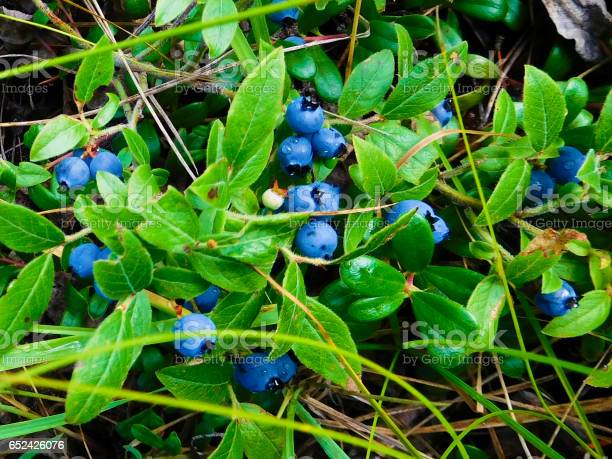 Wild Blueberries In A Canadian Forest Stock Photo - Download Image Now