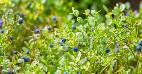 Blueberries in the woods