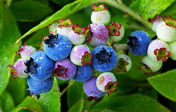 Wild Blueberries Wild blueberries in various stages of ripening, still on the plant, covered with cool, fresh raindrops. blueberry plant stock pictures, royalty-free photos & images