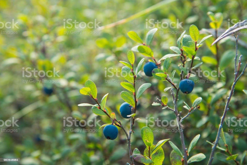Arándanos salvajes, Vaccinium myrtillus en bosque closeup - foto de stock