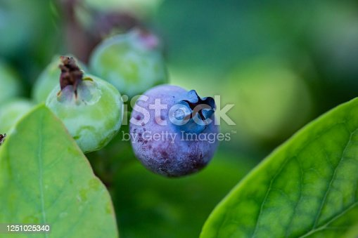 A wild blueberry growing with bright green leaves.