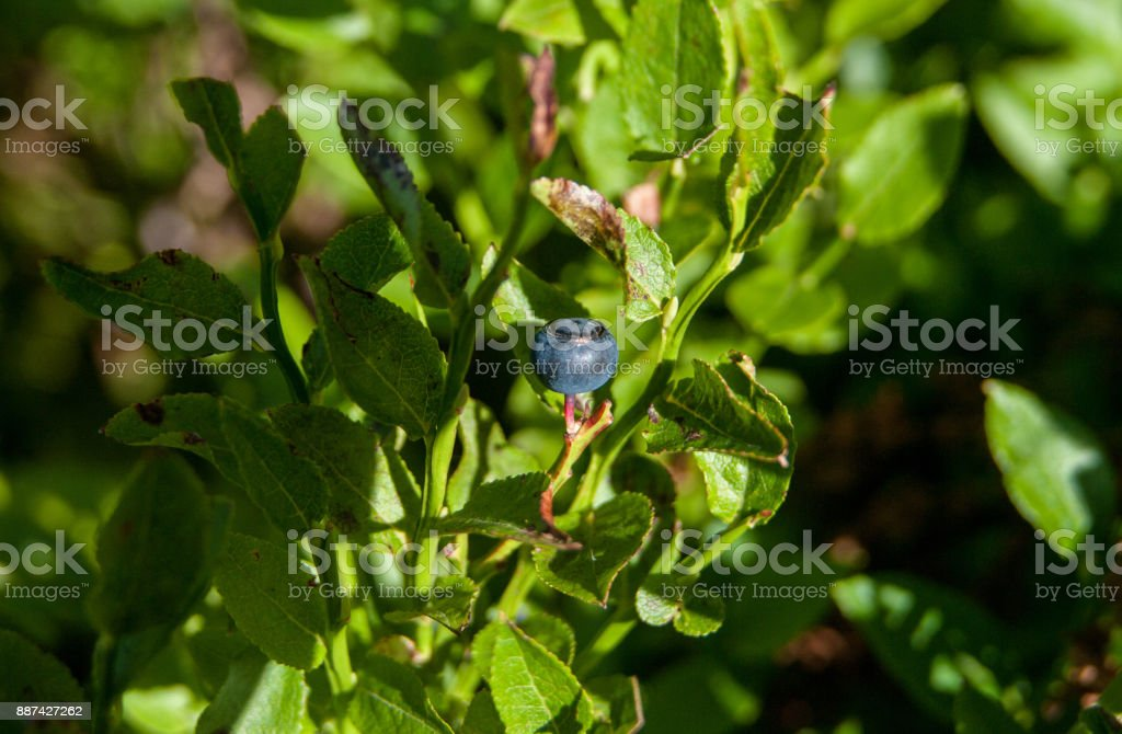 Wild blueberry surrounded by green leaves stock photo