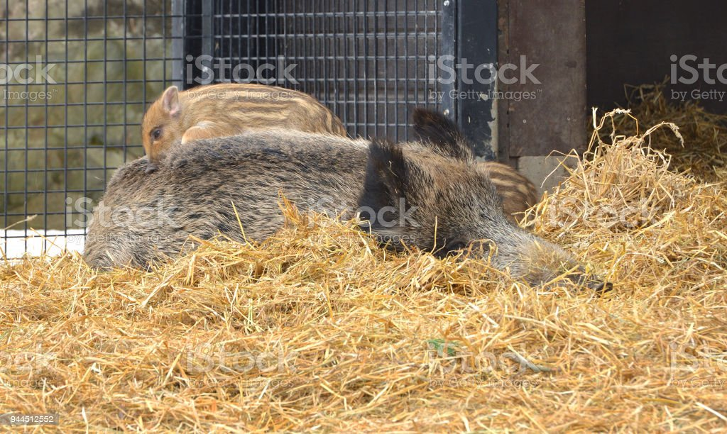 Wild boar (Sus scrofa), also known as wild swine, Eurasian wild pig, or simply wild pig, lies with piglet on his back stock photo