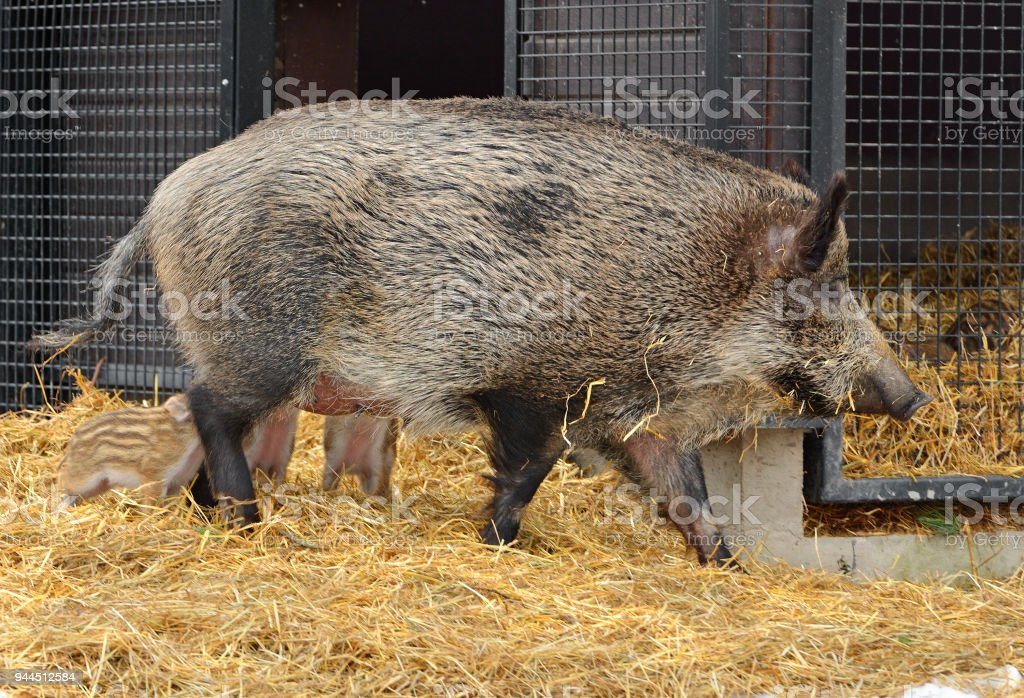 Wild boar (Sus scrofa), also known as wild swine, Eurasian wild pig, or simply wild pig, with piglets stock photo