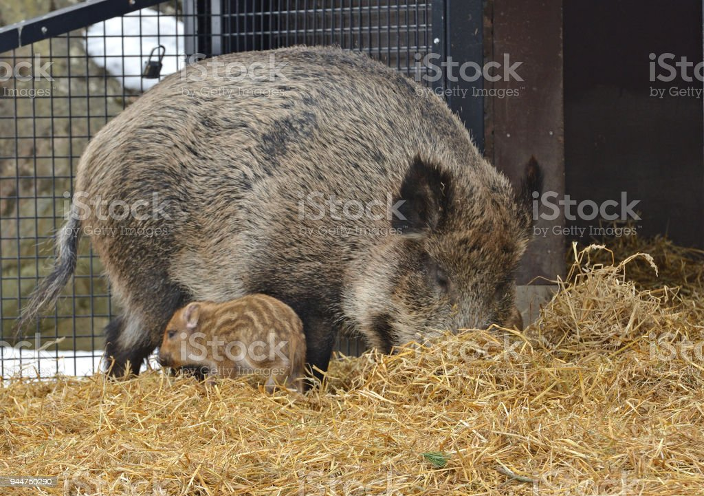 Wild boar (Sus scrofa), also known as wild swine, Eurasian wild pig, or simply wild pig, with piglet stock photo