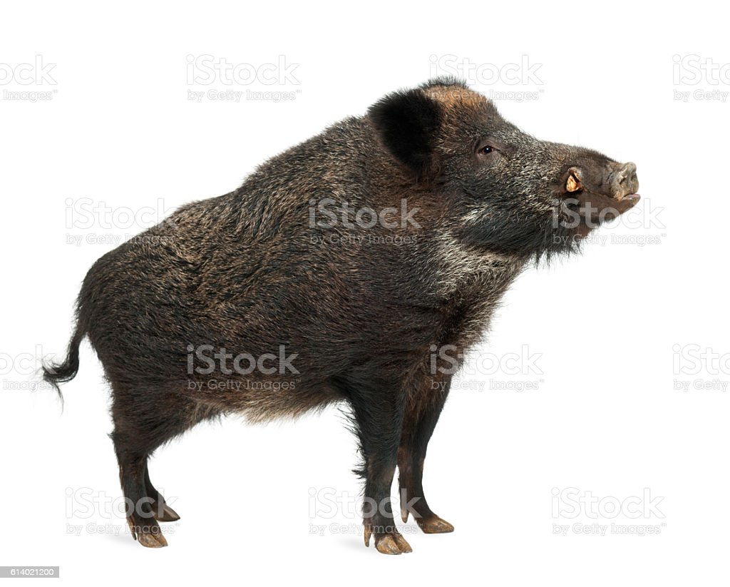 Wild boar, also wild pig, standing isolated on white stock photo