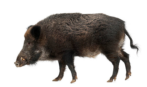 Wild boar, also wild pig, Sus scrofa, 15 years old, Wild boar, also wild pig, Sus scrofa, 15 years old, against white background wild boar stock pictures, royalty-free photos & images