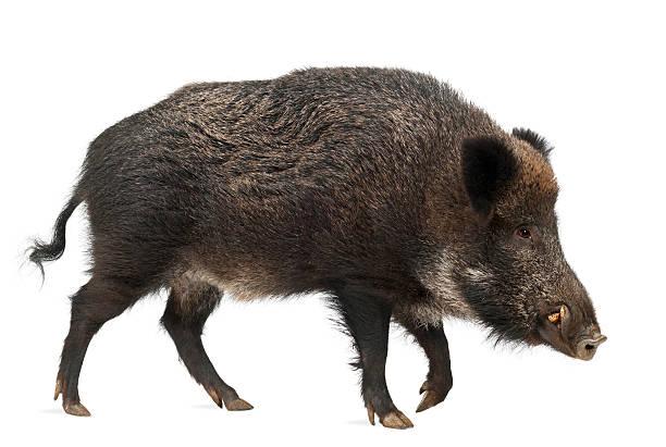 cinghiale, anche maiale selvatico, sus scrofa, 15 anni - cinghiale animale foto e immagini stock