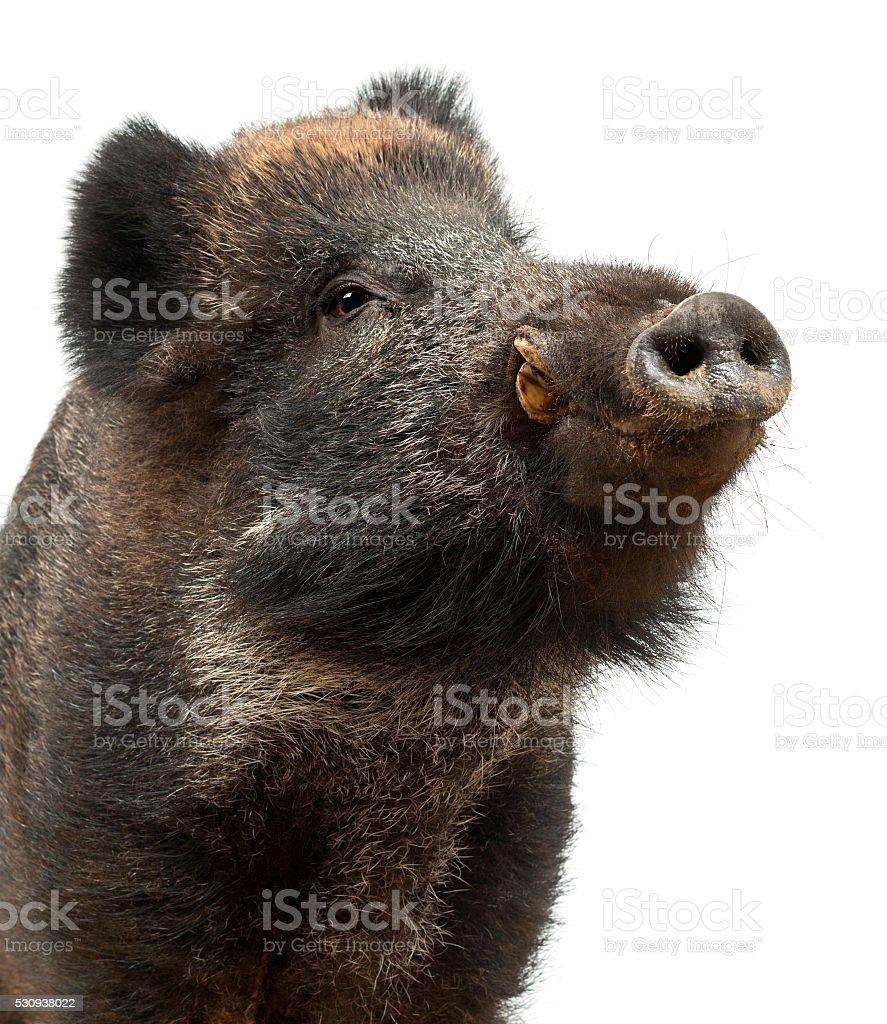 Wild boar, also wild pig, Sus scrofa close up stock photo