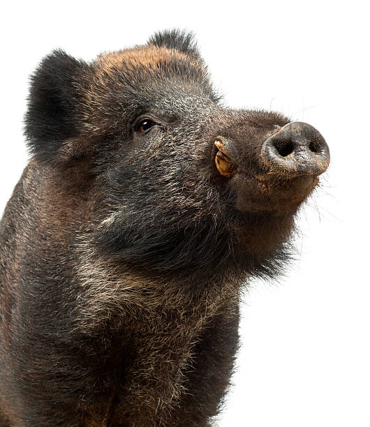 Wild boar, also wild pig, Sus scrofa close up Wild boar, also wild pig, Sus scrofa, 15 years old, close up against white background wild boar stock pictures, royalty-free photos & images