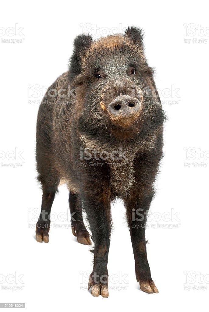Wild boar, also wild pig, Sus scrofa, portrait standing stock photo