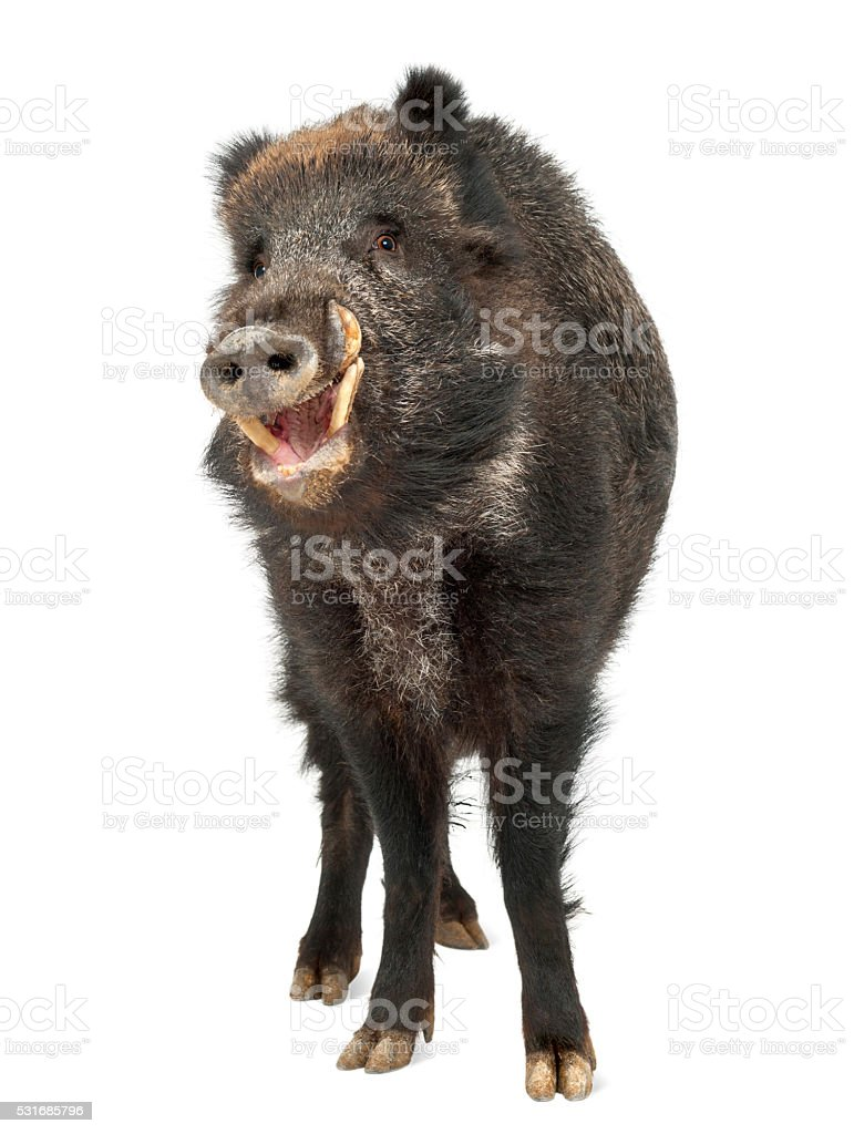Wild boar, also wild pig, Sus scrofa, portrait standing stock photo