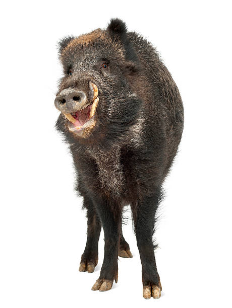 Wild boar, also wild pig, Sus scrofa, portrait standing Wild boar, also wild pig, Sus scrofa, 15 years old, portrait standing against white background wild boar stock pictures, royalty-free photos & images