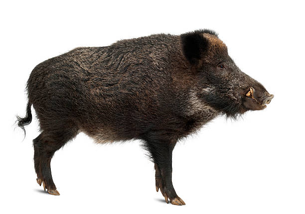 Wild boar, also wild pig, Sus scrofa, standing Wild boar, also wild pig, Sus scrofa, 15 years old, standing against white background wild boar stock pictures, royalty-free photos & images