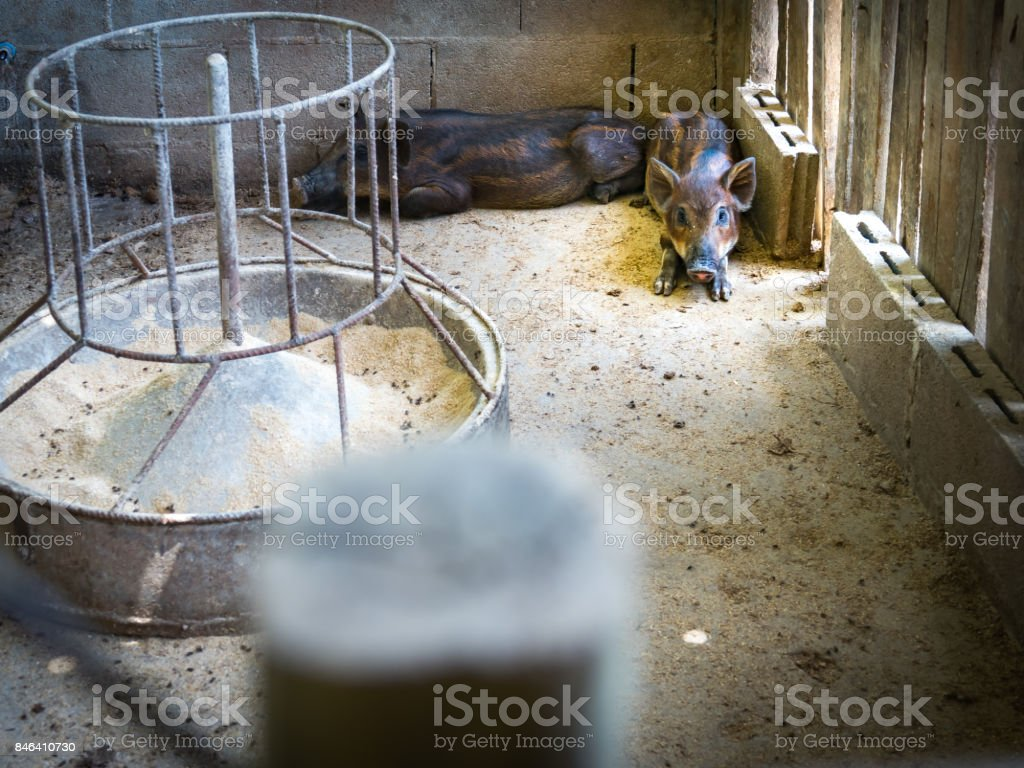 wild boar and feeding in farm stock photo