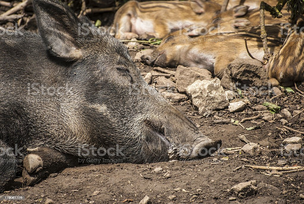 Wild Boar And Piglets royalty-free stock photo