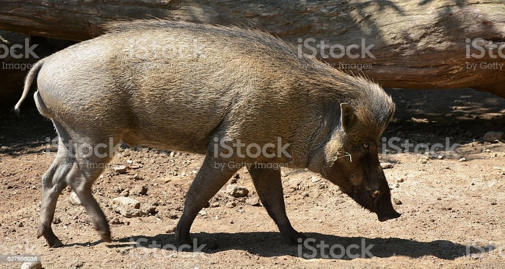 Wild boar at the sunny day stock photo