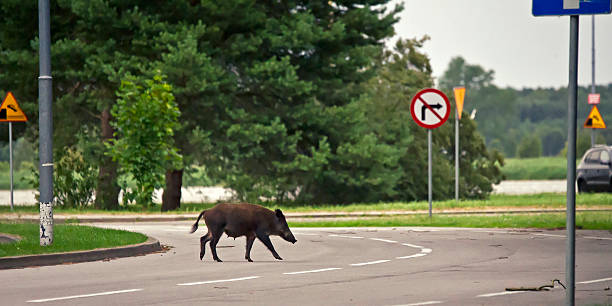 Wild boar crossing the road Wild boar crossing the road wild boar stock pictures, royalty-free photos & images